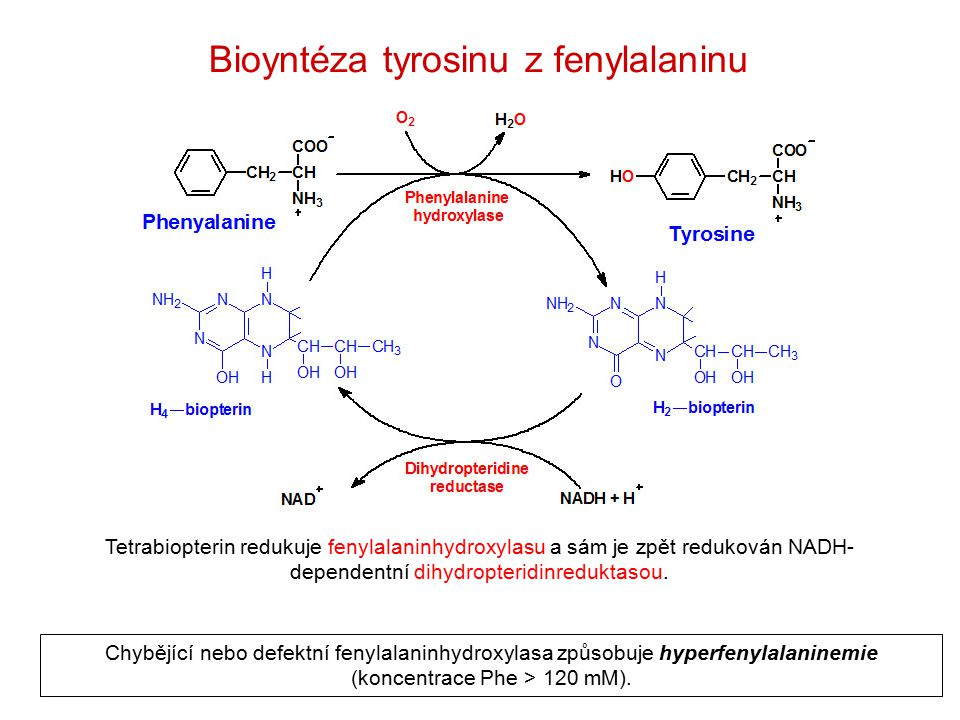 Bioyntéza tyrosinu z fenylalaninu Tetrabiopterin redukuje fenylalaninhydroxylasu a sám je zpět redukován NADH- dependentní dihydropteridinreduktasou.