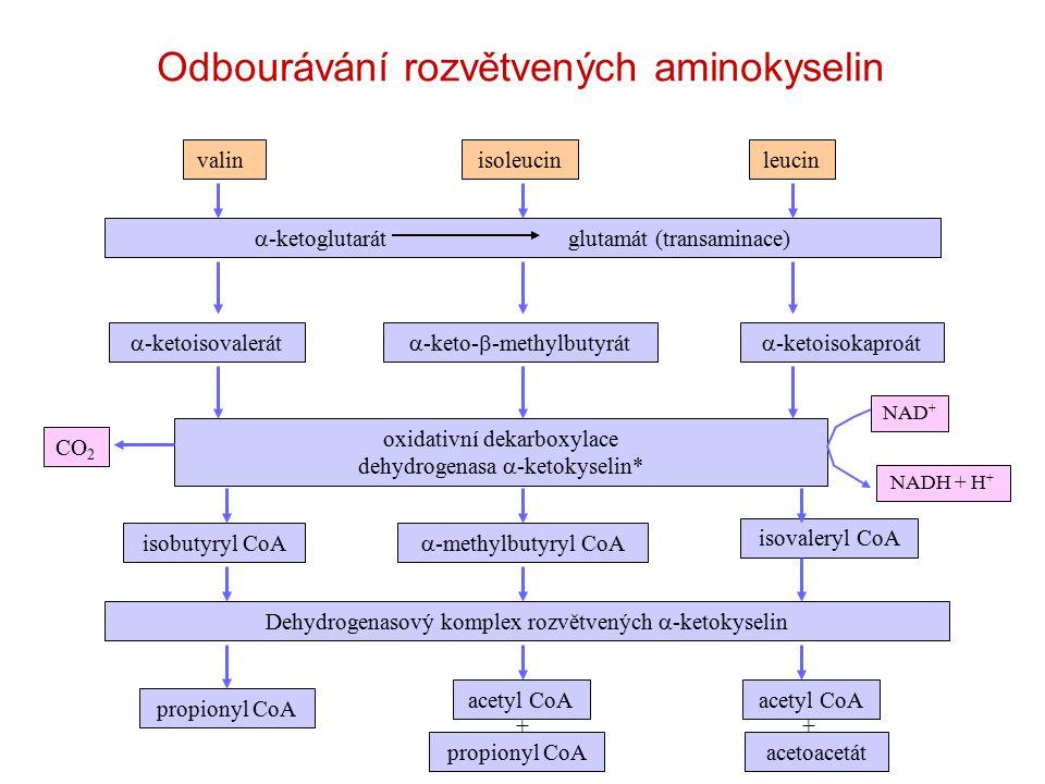 valinisoleucinleucin  -ketoglutarátglutamát (transaminace)  -ketoisovalerát  -keto-  -methylbutyrát  -ketoisokaproát oxidativní dekarboxylace dehydrogenasa  -ketokyselin* CO 2 NAD + NADH + H + isobutyryl CoA  -methylbutyryl CoA isovaleryl CoA Dehydrogenasový komplex rozvětvených  -ketokyselin propionyl CoA acetyl CoA acetoacetát acetyl CoA propionyl CoA ++ Odbourávání rozvětvených aminokyselin