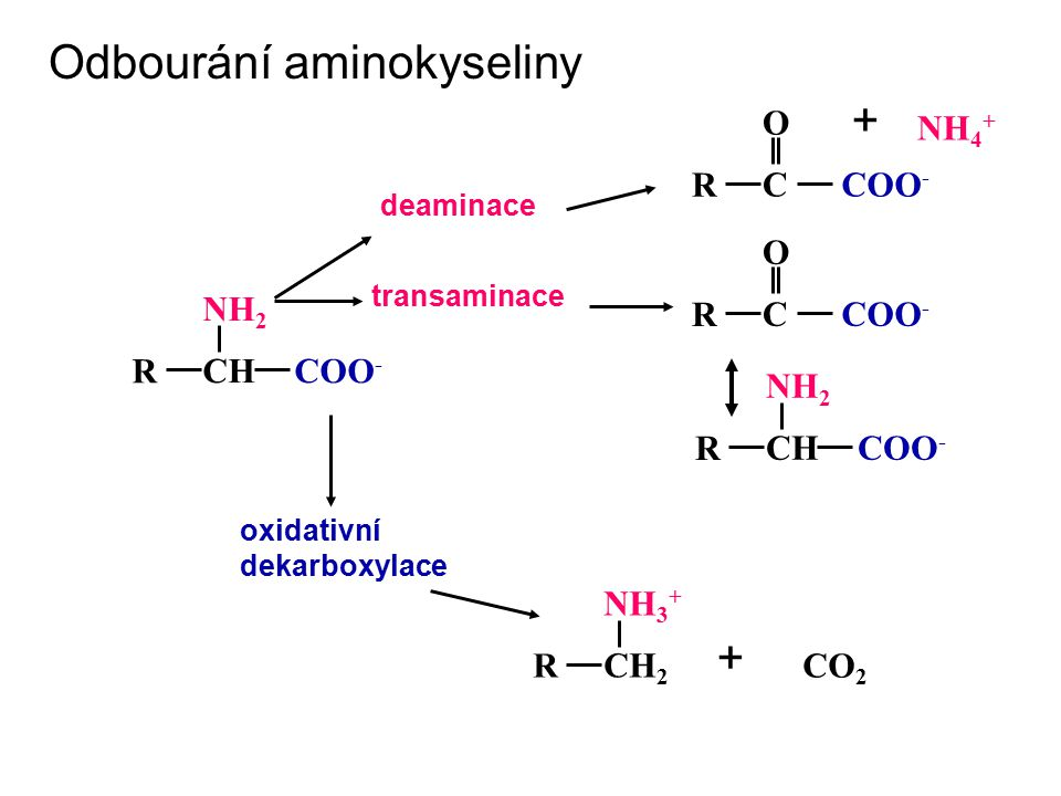 C O R COO - + NH 4 + deaminace transaminace C O R COO - CH NH 2 R COO - CH NH 2 R COO - oxidativní dekarboxylace CH 2 NH 3 + RCO 2 + Odbourání aminoky