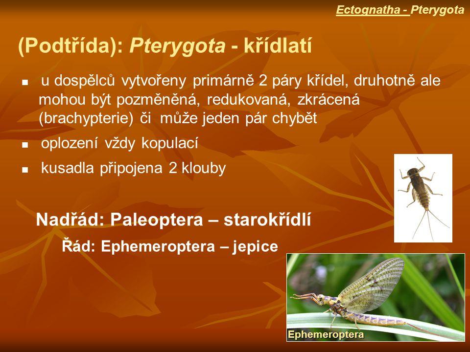(Podtřída): Pterygota - křídlatí u dospělců vytvořeny primárně 2 páry křídel, druhotně ale mohou být pozměněná, redukovaná, zkrácená (brachypterie) či může jeden pár chybět oplození vždy kopulací kusadla připojena 2 klouby Nadřád: Paleoptera – starokřídlí Řád: Ephemeroptera – jepice Ephemeroptera Ectognatha - Pterygota