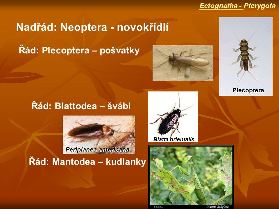 Nadřád: Neoptera - novokřídlí Řád: Plecoptera – pošvatky Řád: Blattodea – švábi Řád: Mantodea – kudlanky Plecoptera Periplanea americana Blatta orientalis Ectognatha - Pterygota