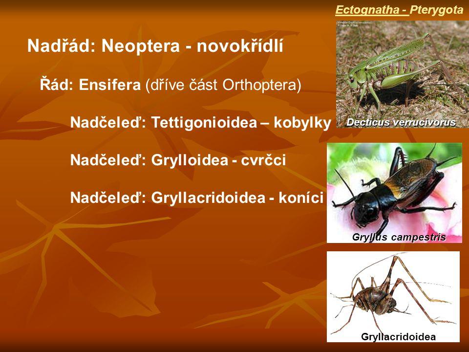 Nadřád: Neoptera - novokřídlí Řád: Ensifera (dříve část Orthoptera) Nadčeleď: Tettigonioidea – kobylky Nadčeleď: Grylloidea - cvrčci Nadčeleď: Gryllacridoidea - koníci Decticus verrucivorus Gryllus campestris Ectognatha - Pterygota Gryllacridoidea