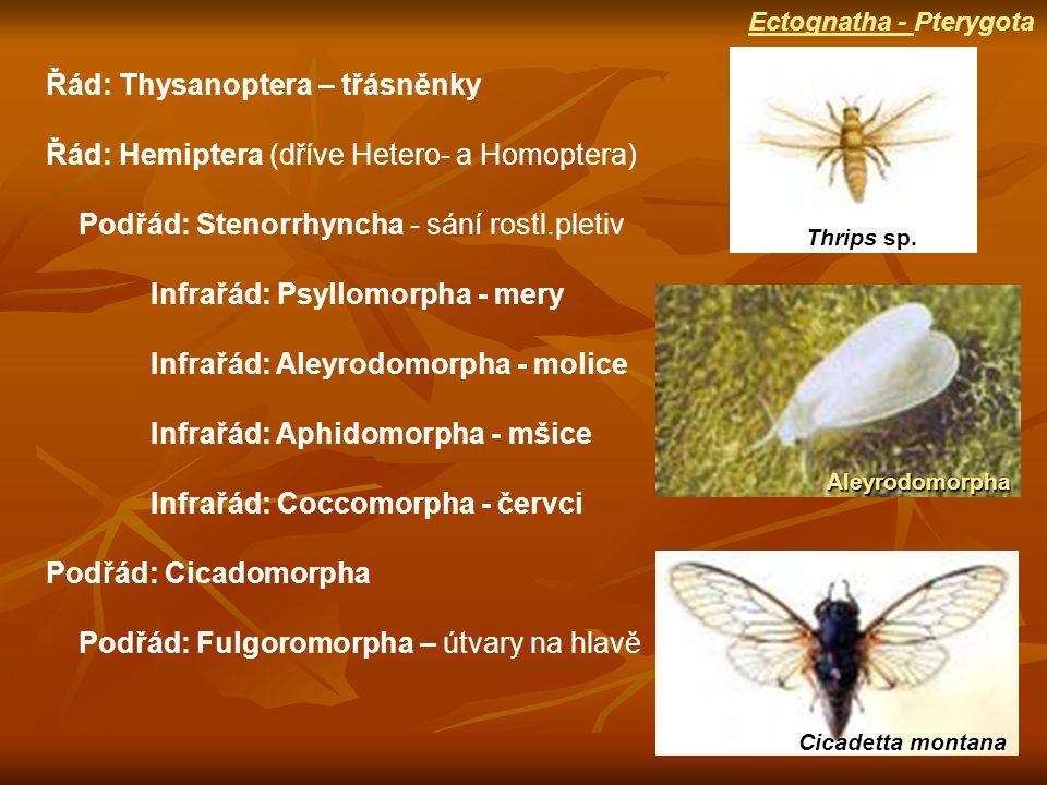 Cicadetta montana Thrips sp.