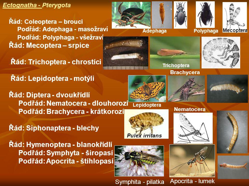 Řád: Coleoptera – brouci Podřád: Adephaga - masožraví Podřád: Polyphaga - všežraví Řád: Mecoptera – srpice Řád: Trichoptera - chrostíci Řád: Lepidoptera - motýli Řád: Diptera - dvoukřídlí Podřád: Nematocera - dlouhorozí Podřád: Brachycera - krátkorozí Řád: Siphonaptera - blechy Řád: Hymenoptera - blanokřídlí Podřád: Symphyta - širopasí Podřád: Apocrita - štíhlopasí Pulex irritans Mecoptera Nematocera Brachycera Ectognatha - Pterygota Symphita - pilatka Apocrita - lumek AdephagaPolyphaga Trichoptera Lepidoptera