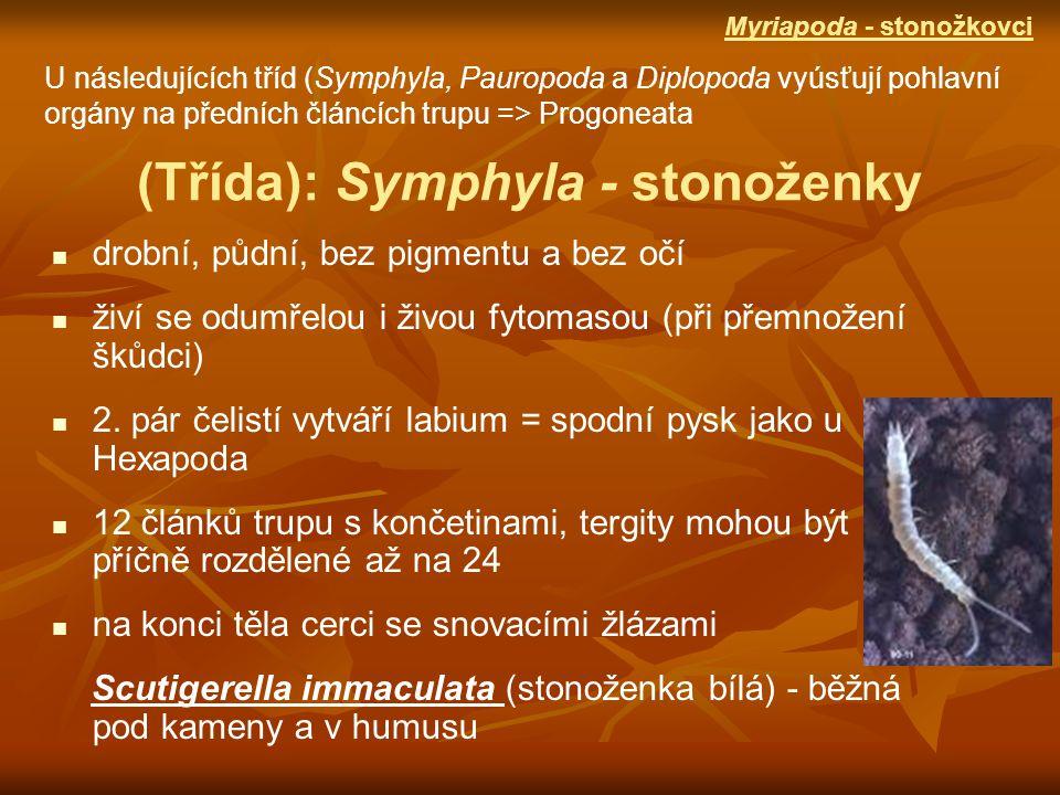 kusadla jsou k hlavě připojena 1 kloubem pár štětů + terminální filament => schopnost skákat skály, sutě mořského pobřeží, v mechu, pod kůrou potrava - řasy, lišejníky, houby, detrit Machilis hrabei (chvostnatka pestrá) - v Moravském krasu (Podtřída): Archeognatha - chvostnatky Následující 2 skupiny zahrnují primárně bezkřídlý hmyz Ectognatha
