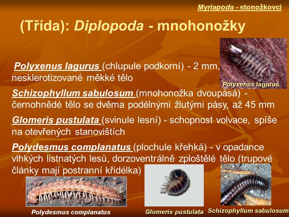 Polyxenus lagurus (chlupule podkorní) - 2 mm, nesklerotizované měkké tělo Schizophyllum sabulosum (mnohonožka dvoupásá) - černohnědé tělo se dvěma podélnými žlutými pásy, až 45 mm Glomeris pustulata (svinule lesní) - schopnost volvace, spíše na otevřených stanovištích Polydesmus complanatus (plochule křehká) - v opadance vlhkých listnatých lesů, dorzoventrálně zploštělé tělo (trupové články mají postranní křidélka) (Třída): Diplopoda - mnohonožky Polyxenus lagurus Schizophyllum sabulosum Glomeris pustulata Myriapoda - stonožkovci Polydesmus complanatus