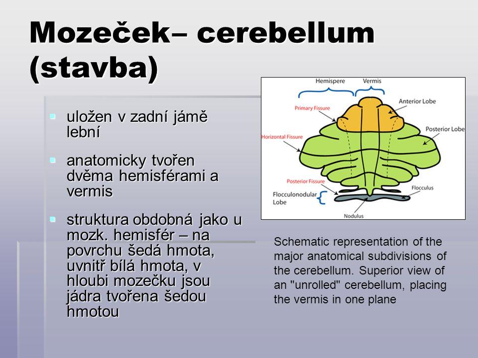 Mozeček– cerebellum (stavba)  uložen v zadní jámě lební  anatomicky tvořen dvěma hemisférami a vermis  struktura obdobná jako u mozk. hemisfér – na