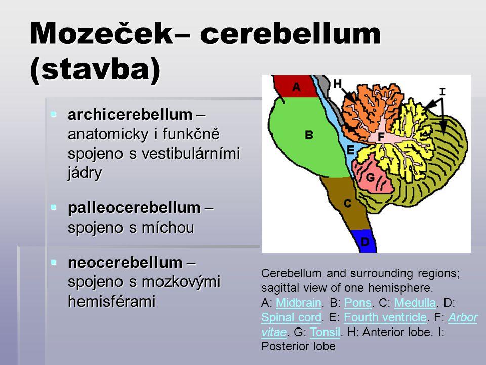 Mozeček– cerebellum (stavba)  archicerebellum – anatomicky i funkčně spojeno s vestibulárními jádry  palleocerebellum – spojeno s míchou  neocerebe