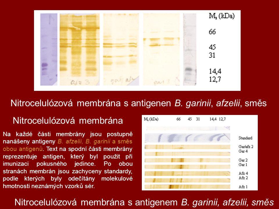 Nitrocelulózová membrána Nitrocelulózová membrána s antigenen B. garinii, afzelii, směs Nitrocelulózová membrána s antigenem B. garinii, afzelii, směs