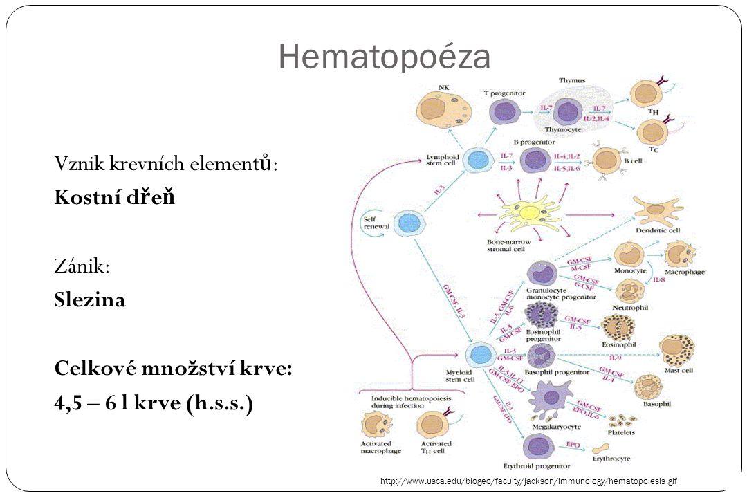 Hematopoéza Vznik krevních element ů : Kostní d ř e ň Zánik: Slezina Celkové množství krve: 4,5 – 6 l krve (h.s.s.) http://www.usca.edu/biogeo/faculty/jackson/immunology/hematopoiesis.gif