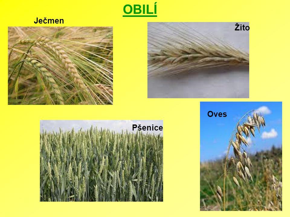 OBILÍ Ječmen Oves Pšenice Žito