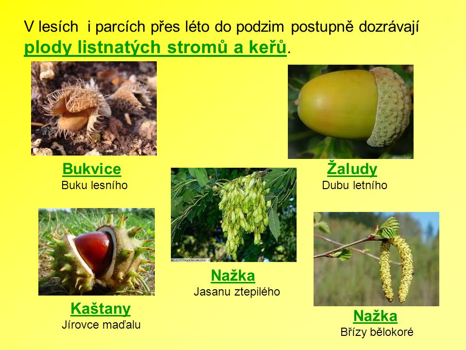 V lesích i parcích přes léto do podzim postupně dozrávají plody listnatých stromů a keřů.