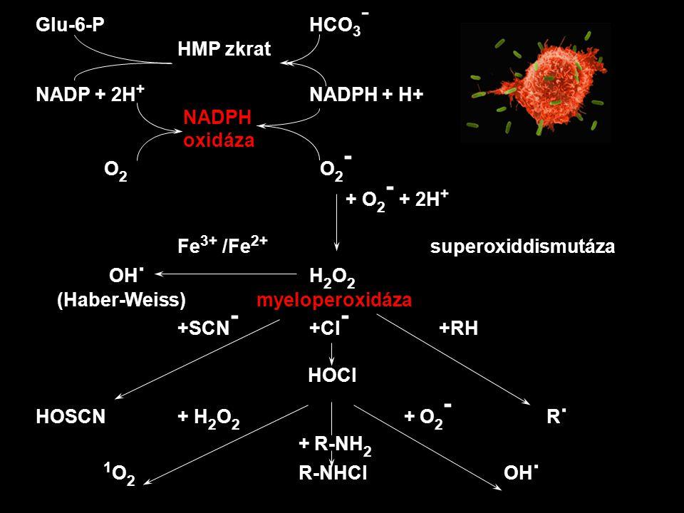 Glu-6-PHCO 3 - HMP zkrat NADP + 2H + NADPH + H+ NADPH oxidáza O 2 O 2 - + O 2 - + 2H + Fe 3+ /Fe 2+ superoxiddismutáza OH. H 2 O 2 (Haber-Weiss) myelo