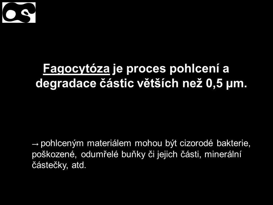 Fagocytóza je proces pohlcení a degradace částic větších než 0,5 µm. → pohlceným materiálem mohou být cizorodé bakterie, poškozené, odumřelé buňky či