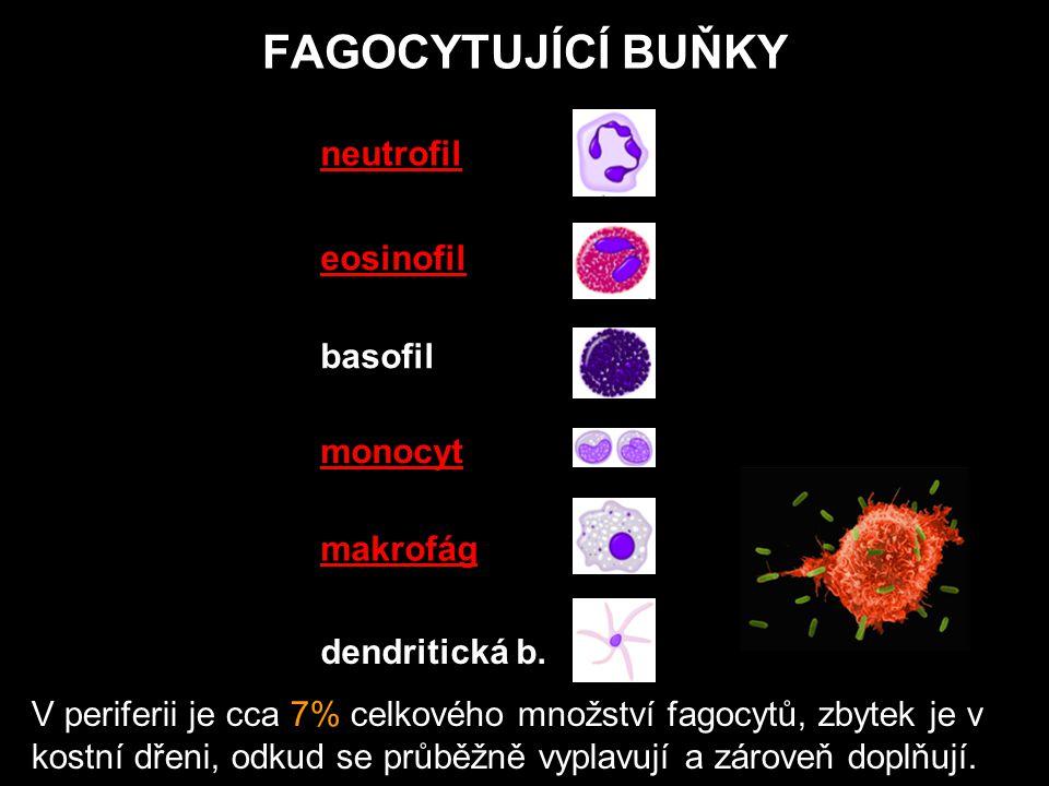 FAGOCYTUJÍCÍ BUŇKY neutrofil eosinofil basofil monocyt makrofág dendritická b.