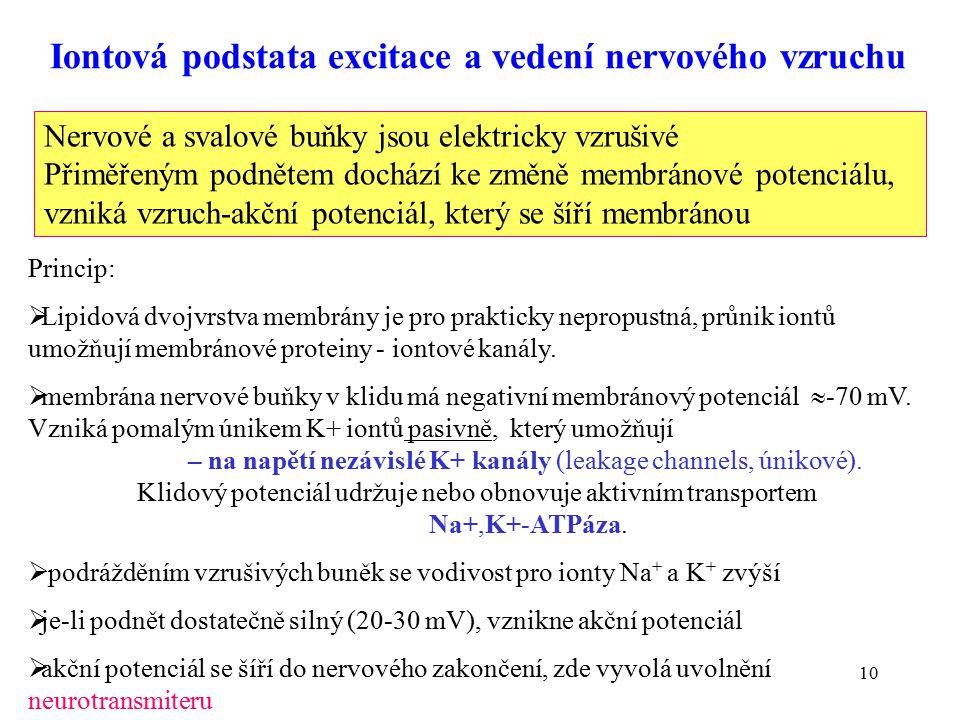 """11 -70 mV stimul spuštění překmit repolarizace 35 Změny membránového potenciálu při přenosu nervového vzruchu Čas (ms) Sekvence dějů: podráždění vyvolá depolarizaci (stimul) pokud depolarizace dosáhne """"prahové hodnoty otevírají se kanály pro influx Na + iontů, potenciál se mění ke kladným hodnotám to vyvolá otevření K + kanálů, Na + kanály se zavřou, draslík proudí dovnitř, nastává repolarizace elektrický impuls se šíří membránou Otevřené Na + kanály"""