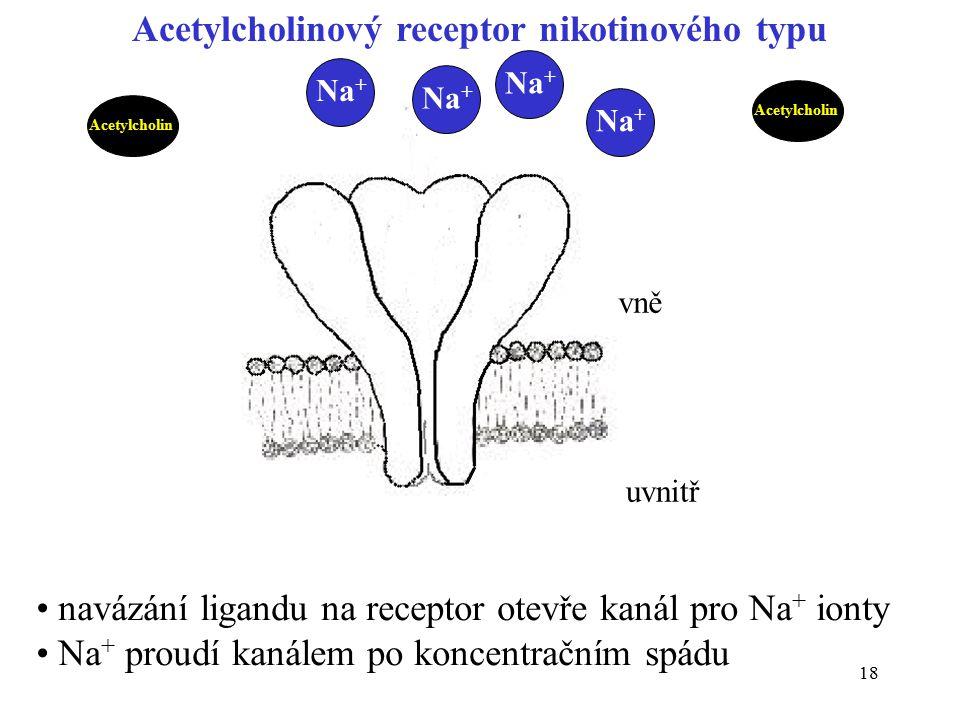 19 Po navázání acetylcholinu se receptor stává iontovým kanálem pro Na + Na + proudí dovnitř buňky buněčná membrána se depolarizuje – potenciál se stává kladnějším otevírají se potenciálově závislé iontové kanály pro Na + Na + proudí těmito kanály do buňky potenciál se přechodně mění ke kladným hodnotám (depolarizace) současně stoupá vodivost pro K + v opačném směru (repolarizace) Sekvence dějů