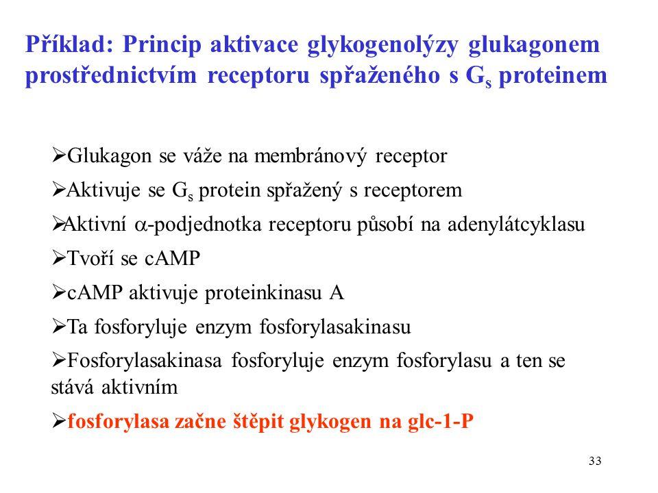 33  Glukagon se váže na membránový receptor  Aktivuje se G s protein spřažený s receptorem  Aktivní  -podjednotka receptoru působí na adenylátcyklasu  Tvoří se cAMP  cAMP aktivuje proteinkinasu A  Ta fosforyluje enzym fosforylasakinasu  Fosforylasakinasa fosforyluje enzym fosforylasu a ten se stává aktivním  fosforylasa začne štěpit glykogen na glc-1-P Příklad: Princip aktivace glykogenolýzy glukagonem prostřednictvím receptoru spřaženého s G s proteinem