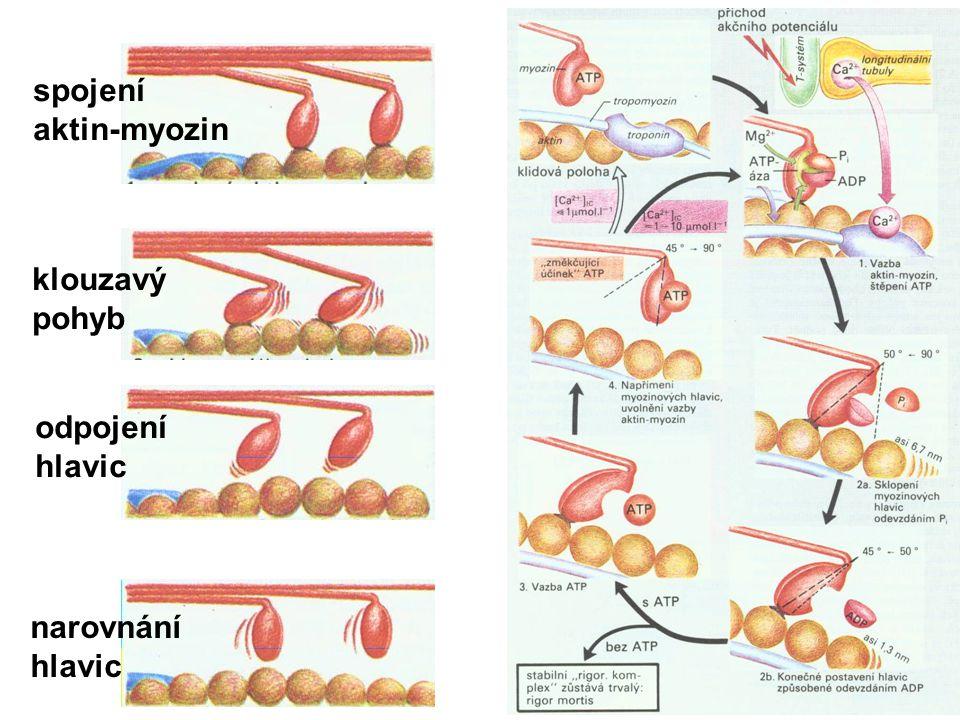 spojení aktin-myozin klouzavý pohyb odpojení hlavic narovnání hlavic