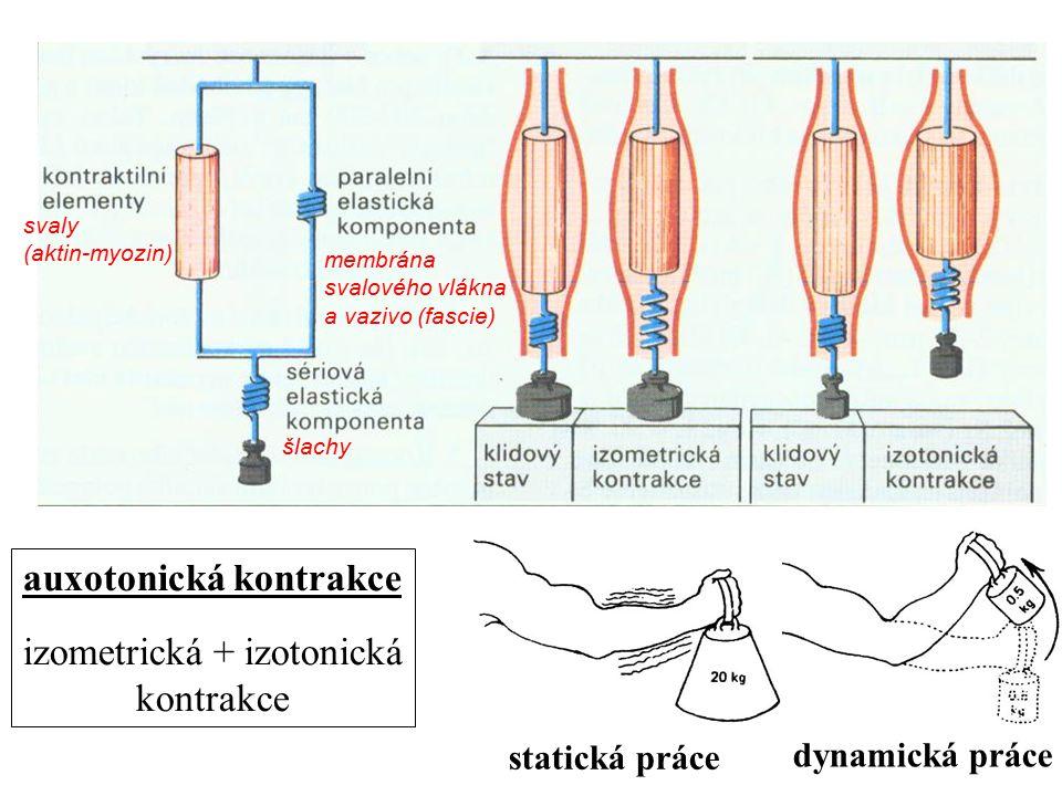 membrána svalového vlákna a vazivo (fascie) šlachy svaly (aktin-myozin) auxotonická kontrakce izometrická + izotonická kontrakce statická práce dynami