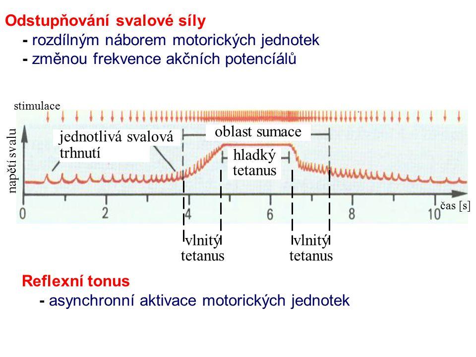 Odstupňování svalové síly - rozdílným náborem motorických jednotek - změnou frekvence akčních potencíálů Reflexní tonus - asynchronní aktivace motoric