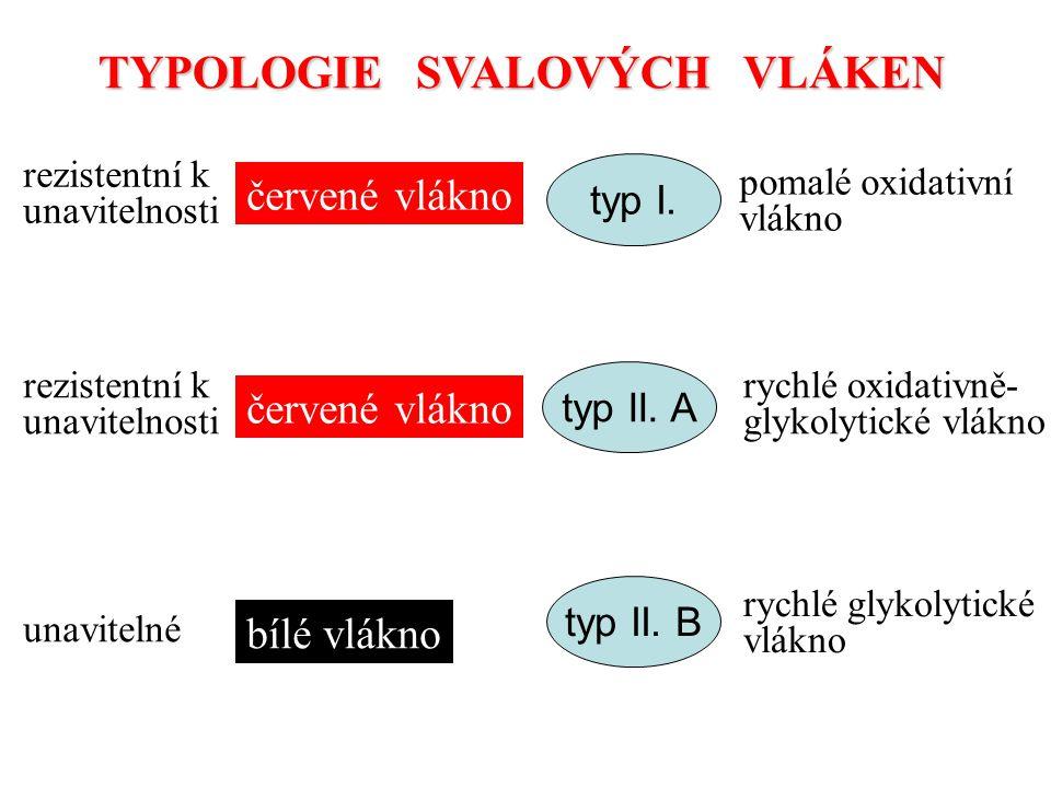 TYPOLOGIE SVALOVÝCH VLÁKEN červené vlákno bílé vlákno typ I. typ II. A typ II. B pomalé oxidativní vlákno rychlé oxidativně- glykolytické vlákno rychl