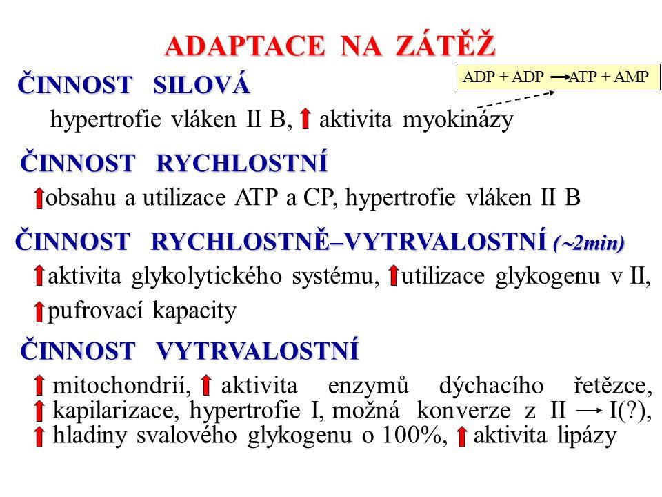 ADAPTACE NA ZÁTĚŽ ČINNOST SILOVÁ hypertrofie vláken II B, aktivita myokinázy ČINNOST RYCHLOSTNÍ obsahu a utilizace ATP a CP, hypertrofie vláken II B Č