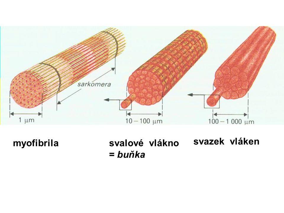 svazek vláken svalové vlákno = buňka myofibrila