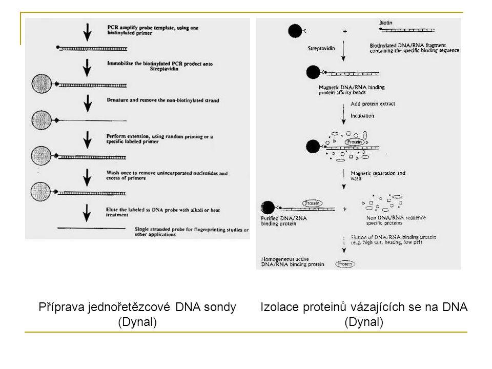 Příprava jednořetězcové DNA sondy (Dynal) Izolace proteinů vázajících se na DNA (Dynal)