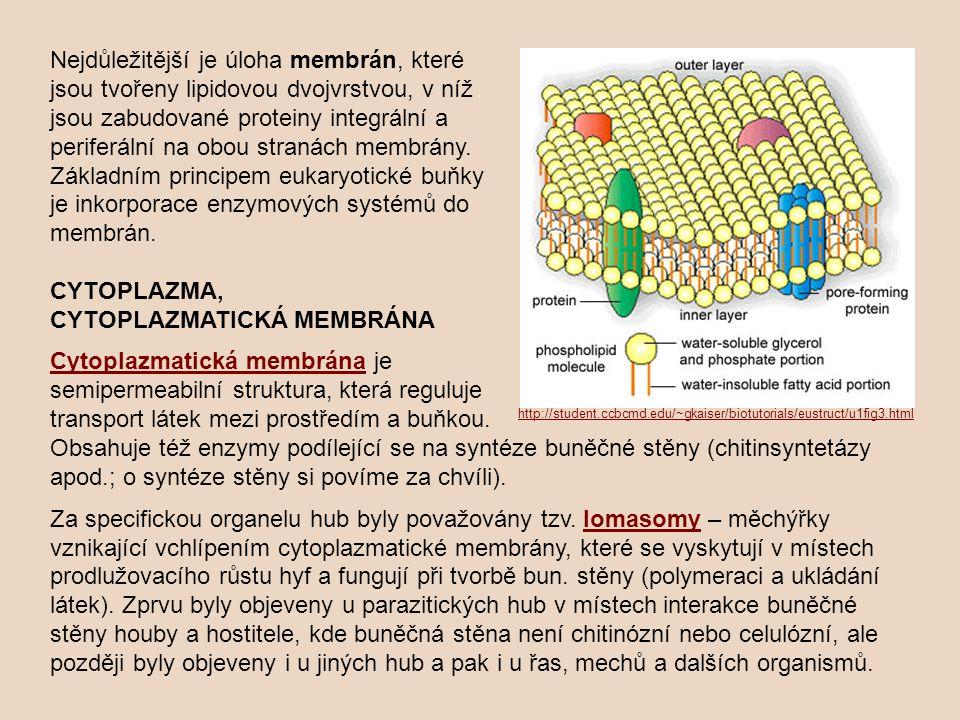 Degradační funkci v buň - kách hub plní většinou vakuoly; působí zde kyselé prostředí a hydrolytické enzymy.
