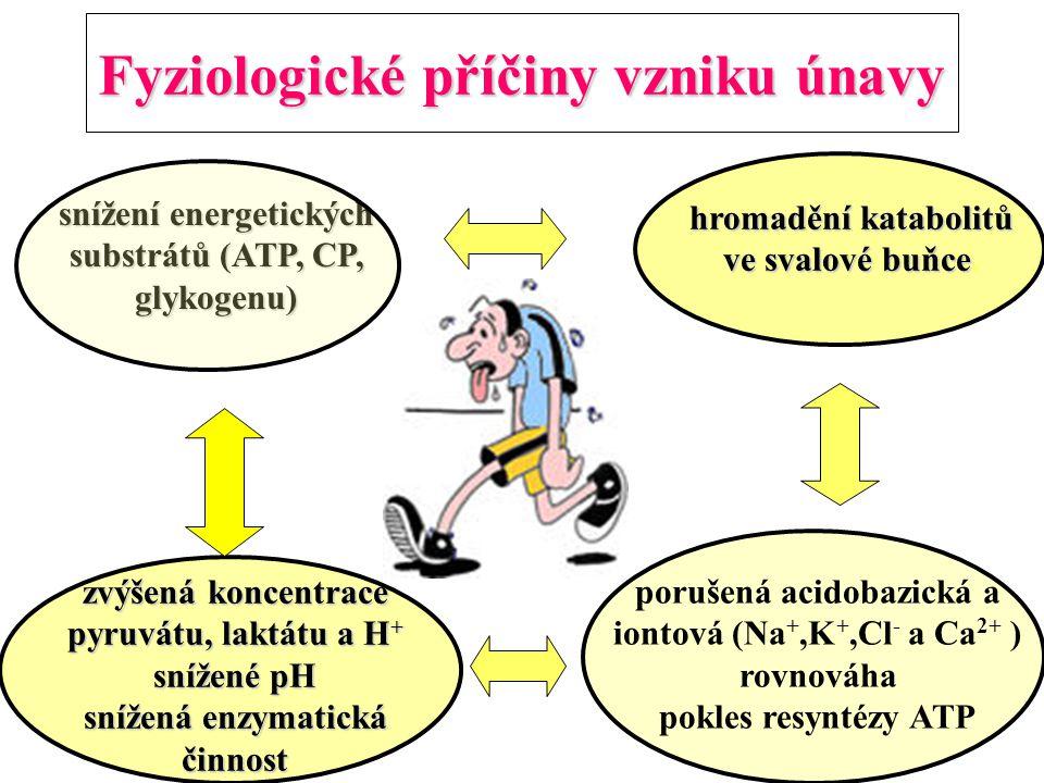 Fyziologické příčiny vzniku únavy zvýšená koncentrace pyruvátu, laktátu a H + snížené pH snížená enzymatická činnost hromadění katabolitů ve svalové b