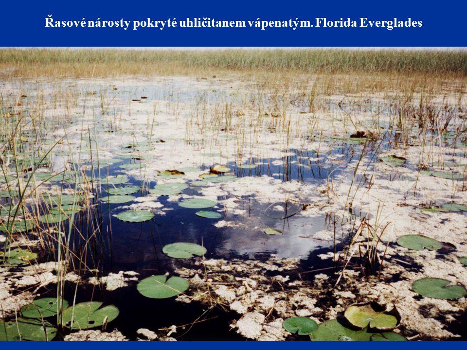 Řasové nárosty pokryté uhličitanem vápenatým. Florida Everglades
