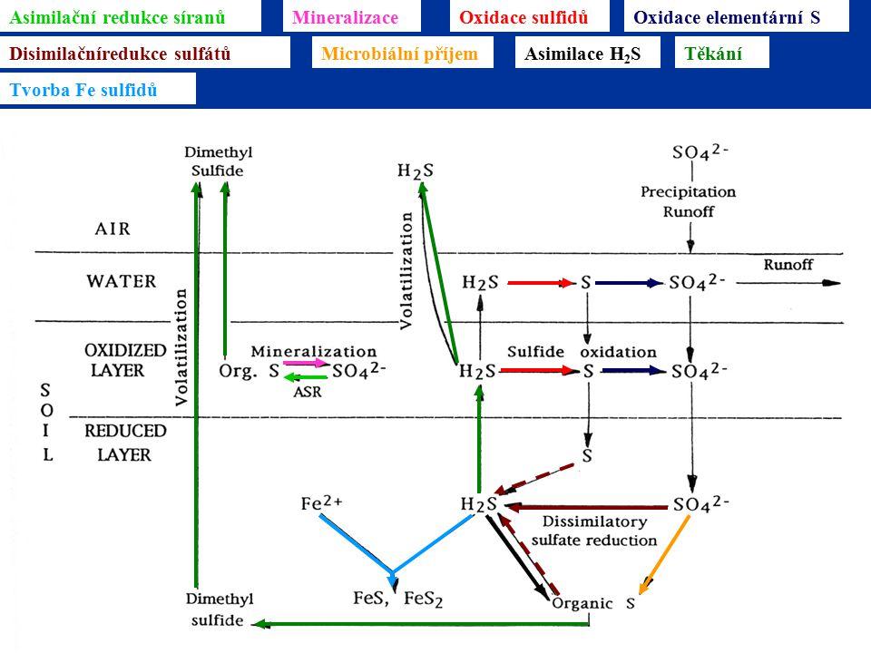 Asimilační redukce síranůMineralizaceOxidace sulfidůOxidace elementární S Disimilačníredukce sulfátůMicrobiální příjemAsimilace H 2 STěkání Tvorba Fe
