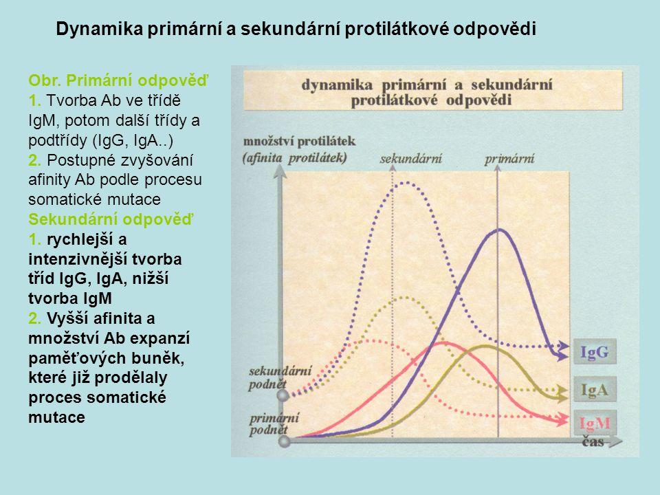 Dynamika primární a sekundární protilátkové odpovědi Obr.