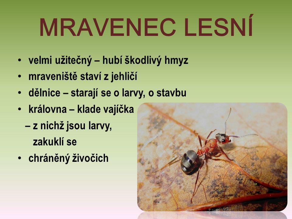 MRAVENEC LESNÍ velmi užitečný – hubí škodlivý hmyz mraveniště staví z jehličí dělnice – starají se o larvy, o stavbu královna – klade vajíčka – z nich