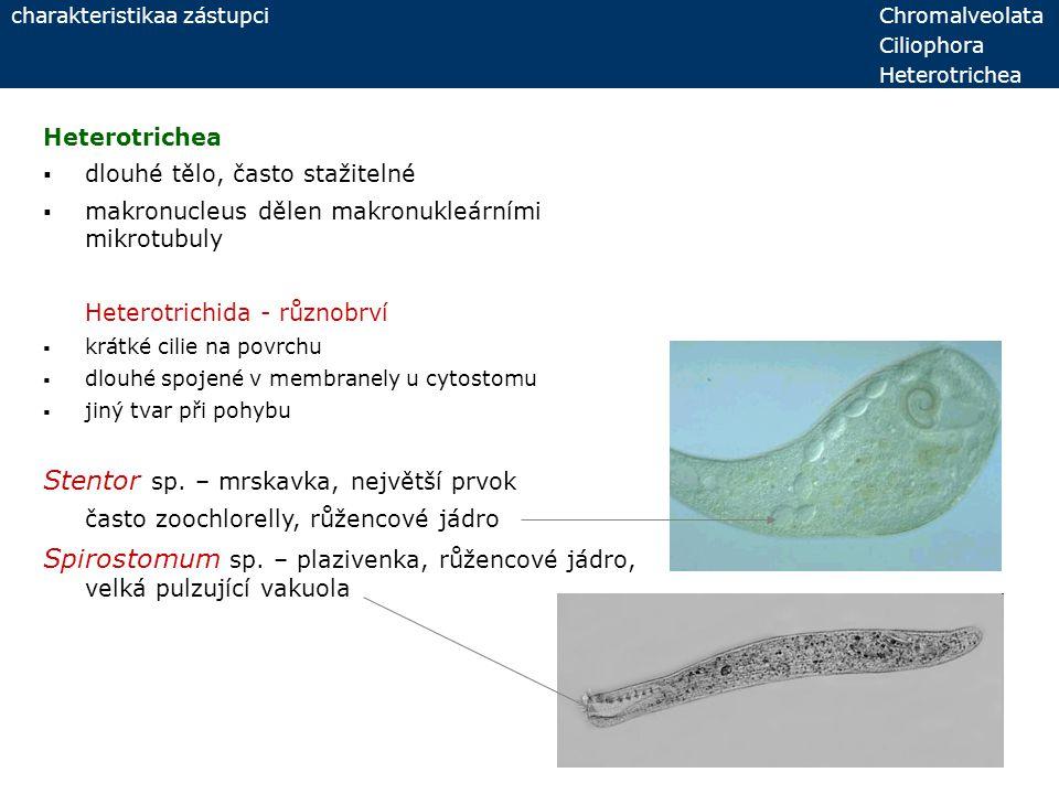 Heterotrichea  dlouhé tělo, často stažitelné  makronucleus dělen makronukleárními mikrotubuly Heterotrichida - různobrví  krátké cilie na povrchu 