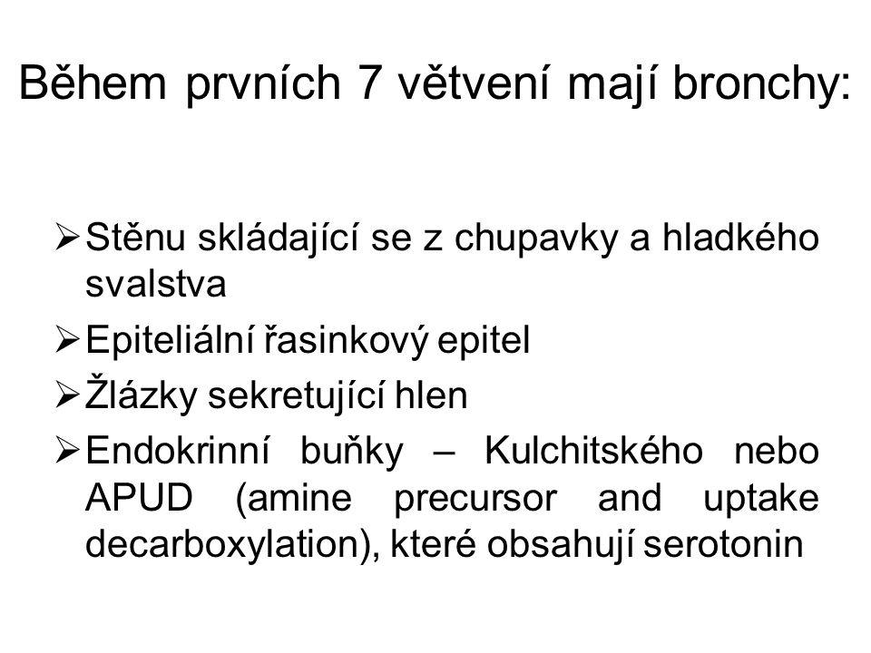 Během prvních 7 větvení mají bronchy:  Stěnu skládající se z chupavky a hladkého svalstva  Epiteliální řasinkový epitel  Žlázky sekretující hlen 