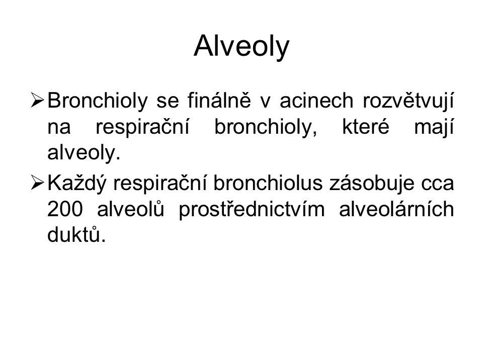 Alveoly  Bronchioly se finálně v acinech rozvětvují na respirační bronchioly, které mají alveoly.  Každý respirační bronchiolus zásobuje cca 200 alv