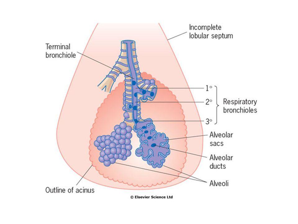 Alveoly  300 miliónů v každé plíci.Jejich celkový povrch 40-80 m 2.