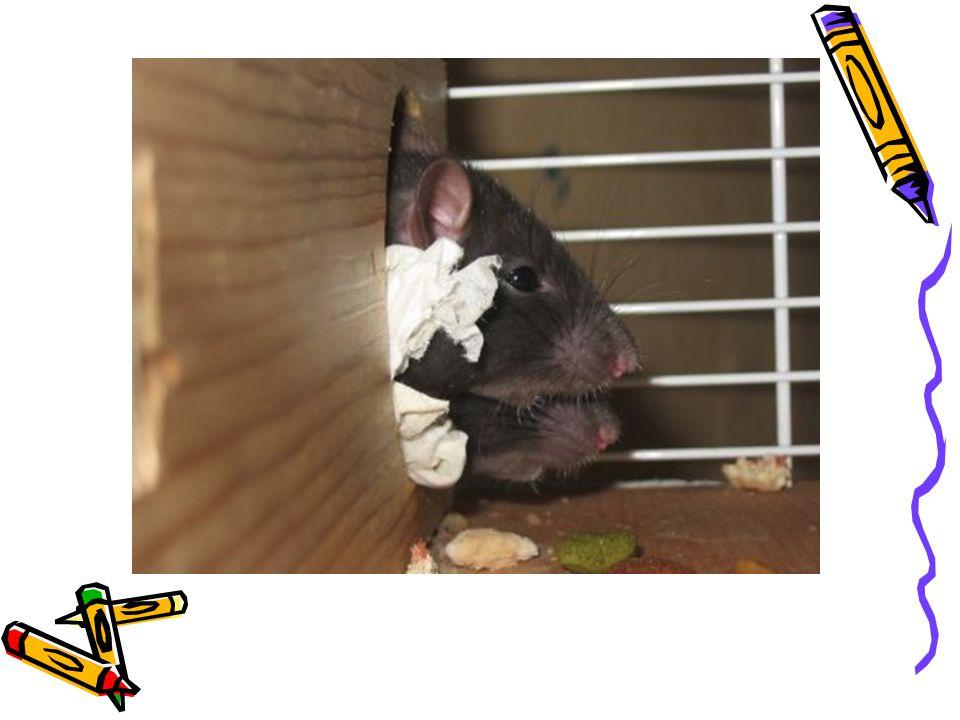 oo hlodavcích obecně hrabošík hutia chlupáč kapybara klokanomyš koro krysa křeček křečík kuandu lumík mara morčátko morče myš myšice myšivka myška norník