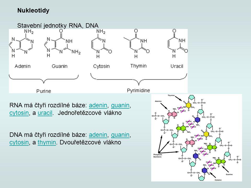 Nukleotidy Stavební jednotky RNA, DNA RNA má čtyři rozdílné báze: adenin, guanin, cytosin, a uracil. Jednořetězcové vláknoadeninguanin cytosinuracil D