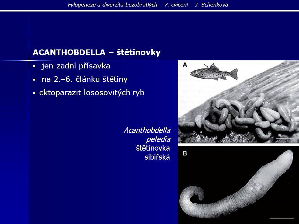 ACANTHOBDELLA – štětinovky  jen zadní přísavka  na 2.–6. článku štětiny  ektoparazit lososovitých ryb Acanthobdella peledia štětinovka sibiřská Fyl