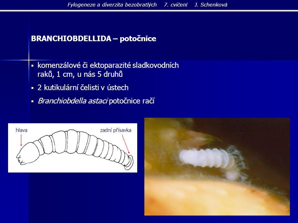 BRANCHIOBDELLIDA – potočnice  komenzálové či ektoparazité sladkovodních raků, 1 cm, u nás 5 druhů  2 kutikulární čelisti v ústech  Branchiobdella a