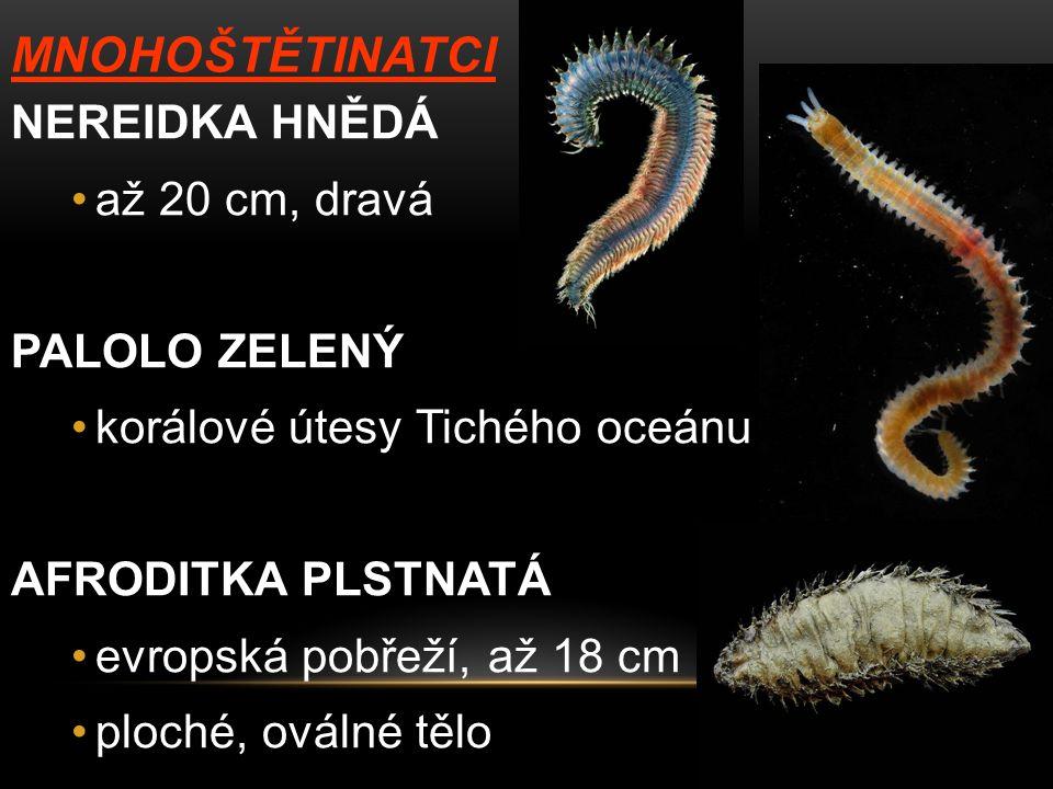 MNOHOŠTĚTINATCI NEREIDKA HNĚDÁ až 20 cm, dravá PALOLO ZELENÝ korálové útesy Tichého oceánu AFRODITKA PLSTNATÁ evropská pobřeží, až 18 cm ploché, oválné tělo