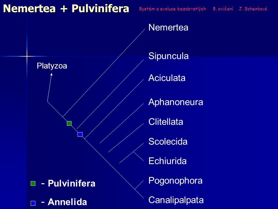 Systém a evoluce bezobratlých 8. cvičení J. Schenková Nemertea + Pulvinifera Sipuncula Platyzoa Pogonophora Canalipalpata Aphanoneura Clitellata Acicu