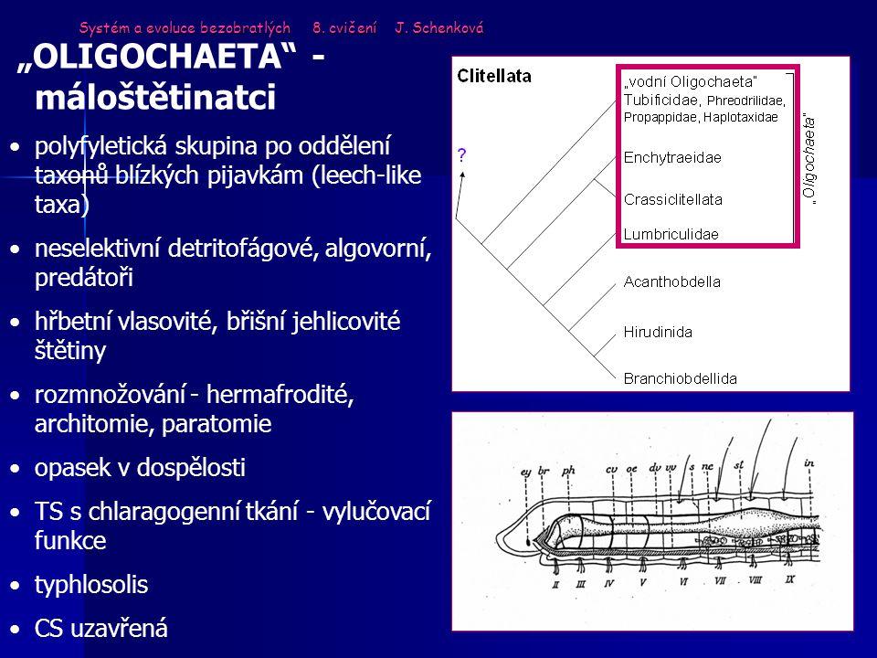 """Systém a evoluce bezobratlých 8. cvičení J. Schenková """"OLIGOCHAETA"""" - máloštětinatci polyfyletická skupina po oddělení taxonů blízkých pijavkám (leech"""