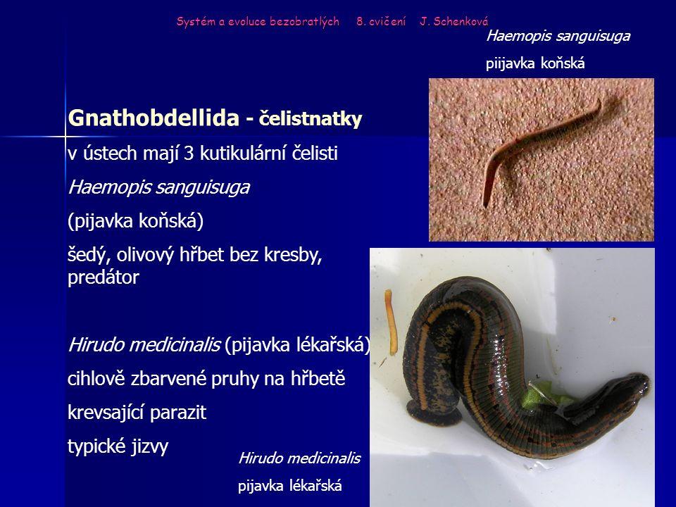Systém a evoluce bezobratlých 8. cvičení J. Schenková Gnathobdellida - čelistnatky v ústech mají 3 kutikulární čelisti Haemopis sanguisuga (pijavka ko