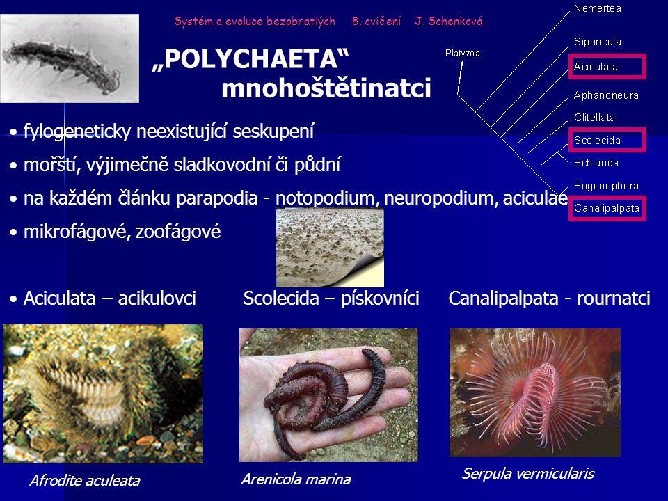 """Systém a evoluce bezobratlých 8. cvičení J. Schenková """"POLYCHAETA"""" mnohoštětinatci fylogeneticky neexistující seskupení mořští, výjimečně sladkovodní"""