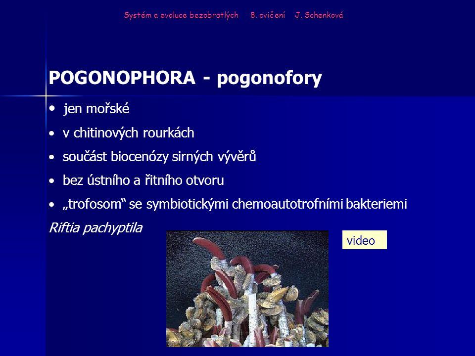 """POGONOPHORA - pogonofory jen mořské v chitinových rourkách součást biocenózy sirných vývěrů bez ústního a řitního otvoru """"trofosom"""" se symbiotickými c"""