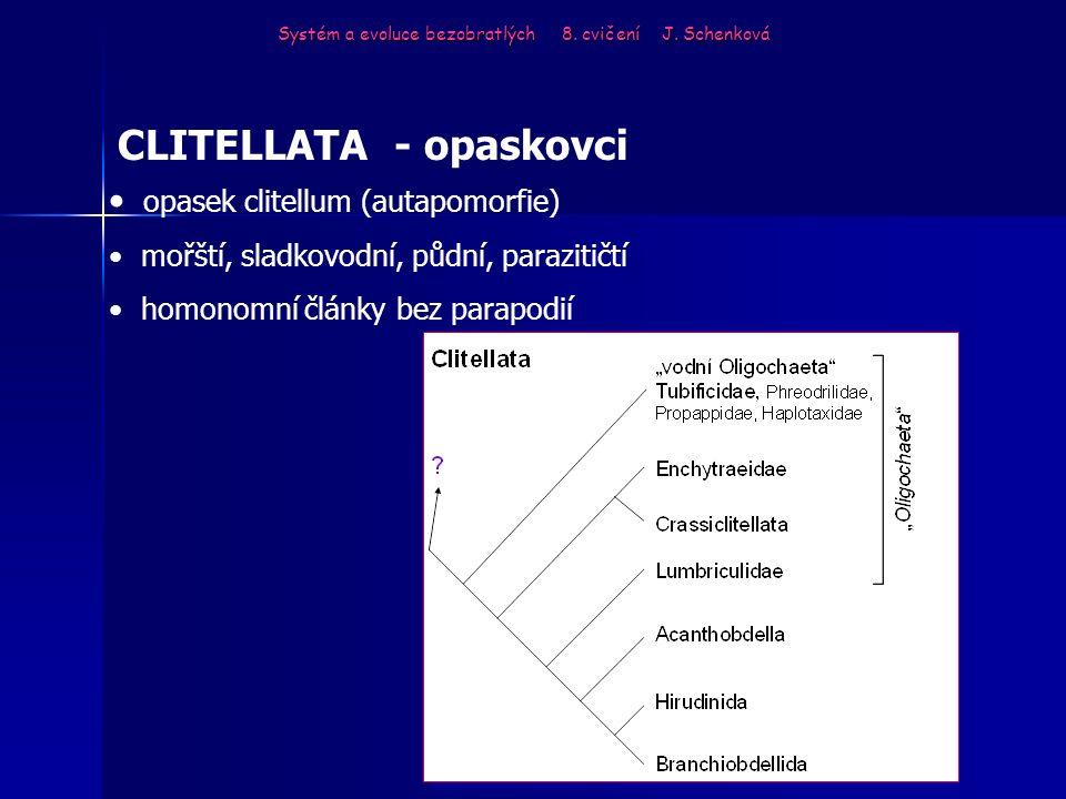 Systém a evoluce bezobratlých 8. cvičení J. Schenková CLITELLATA - opaskovci opasek clitellum (autapomorfie) mořští, sladkovodní, půdní, parazitičtí h